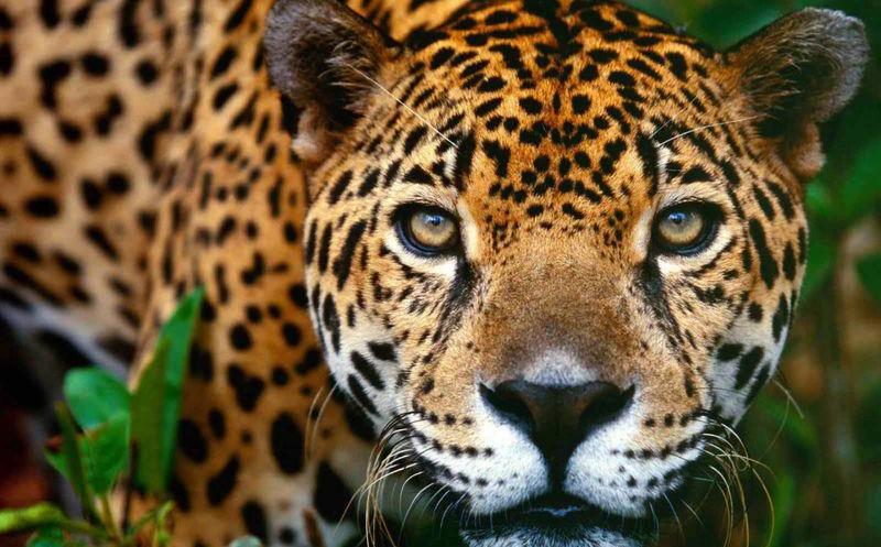 Jaguar FOTO: Sipse