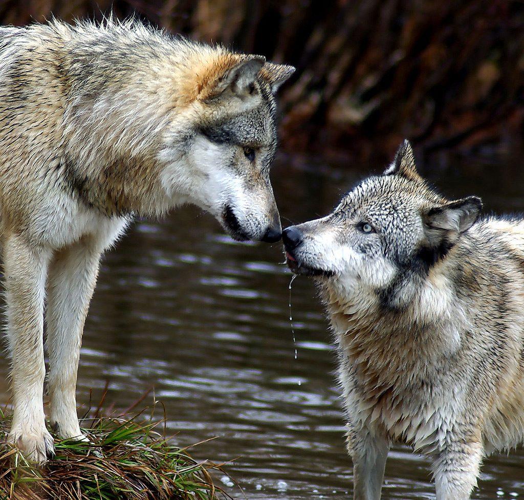 Lobo gris mexicano y cría FOTO: Vivir México