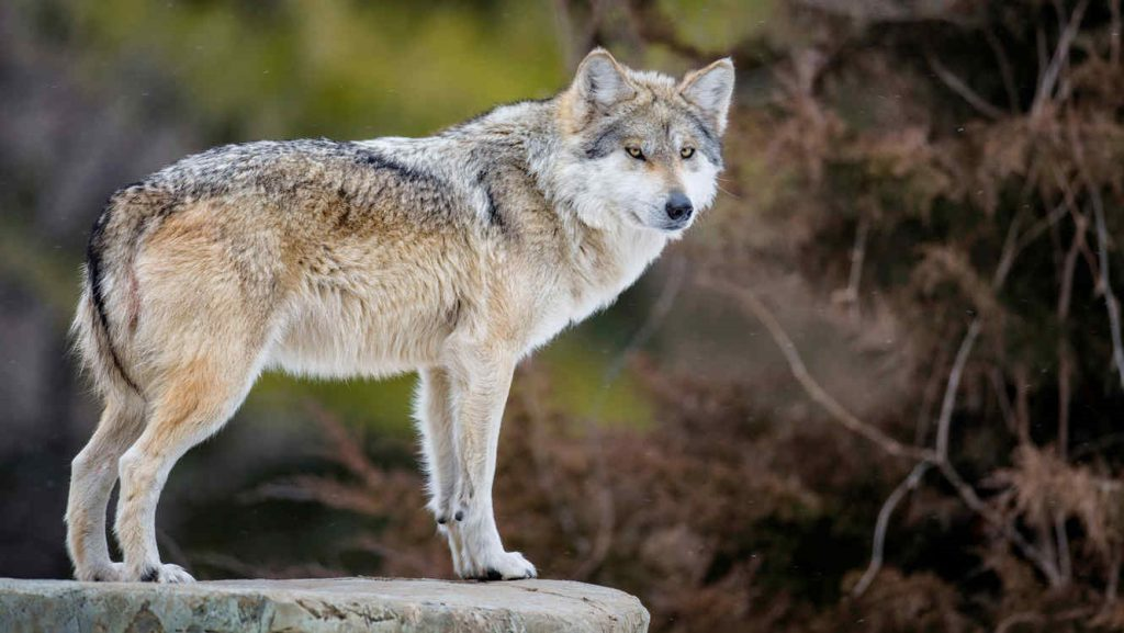 Lobo gris mexicano