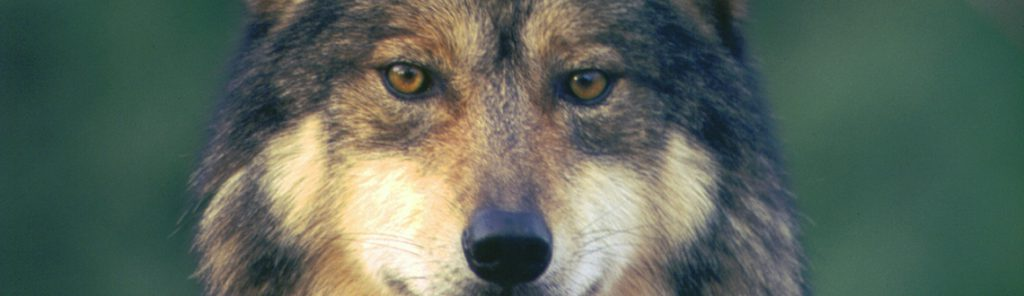 Lobo gris FOTO: Center for Biological Diversity