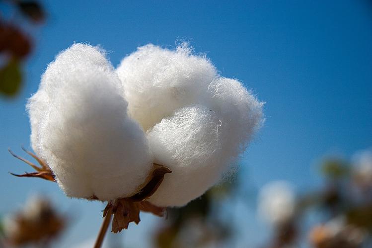 Cultivo del algodón en México