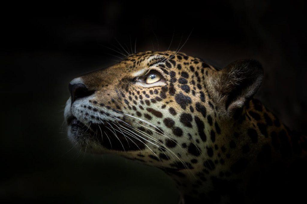 Conservación del jaguar FOTO: Fundación Carlos Slim